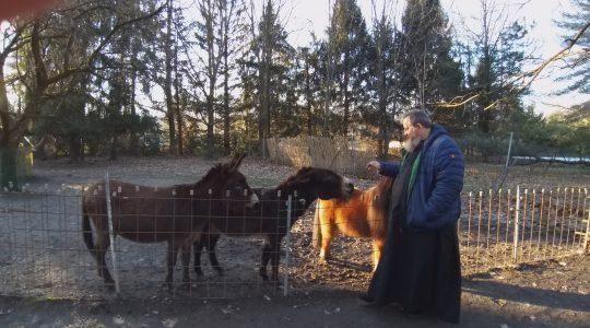 Kucyk, osiołki i... sarenka (6.02.2019)